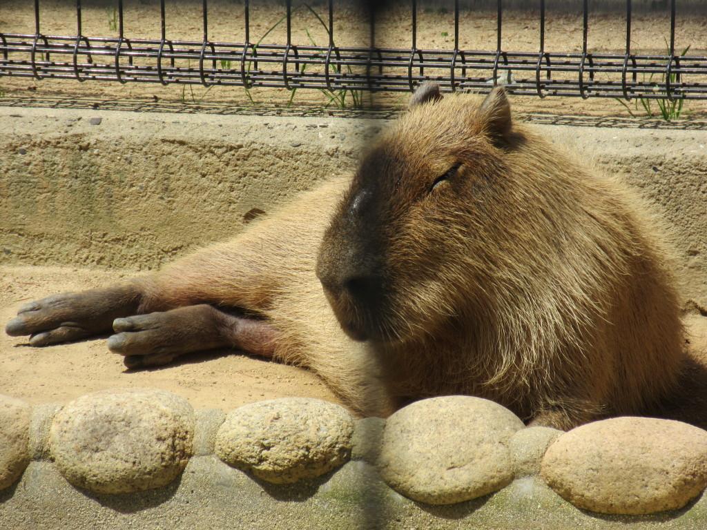 王子動物園のカピバラの顔